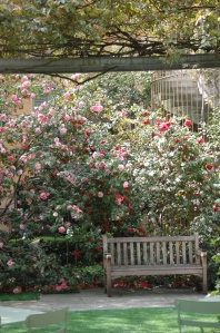 Camellias in the garden